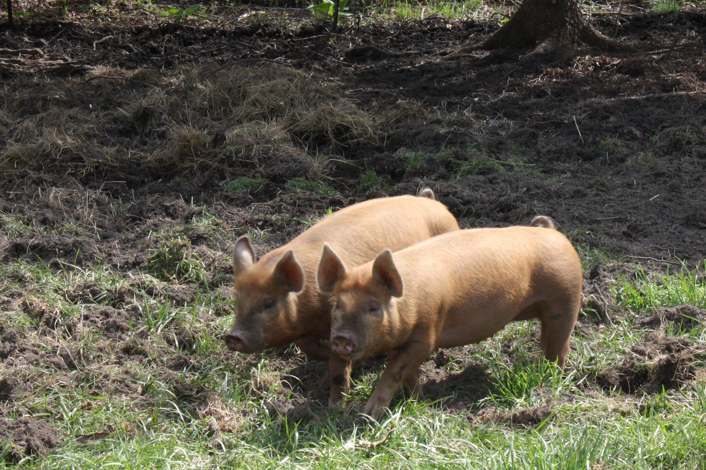 Stjernekokke dyster om at vinde Årets ret med svinekød