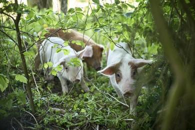 Bæredygtige grise stopper madspil på Elmely Kro